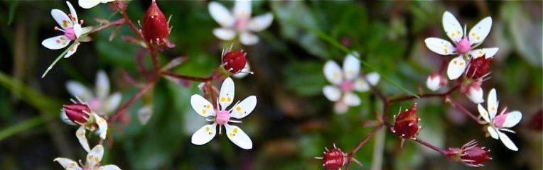 alpineflowers3