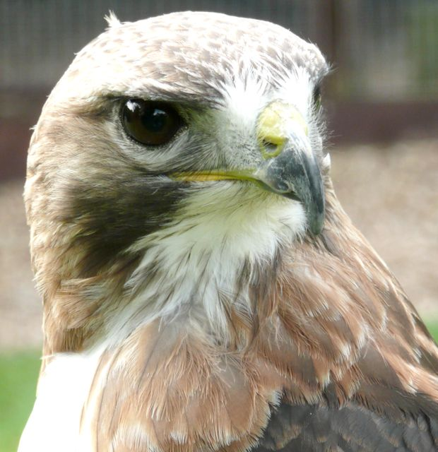 falconryarticle3