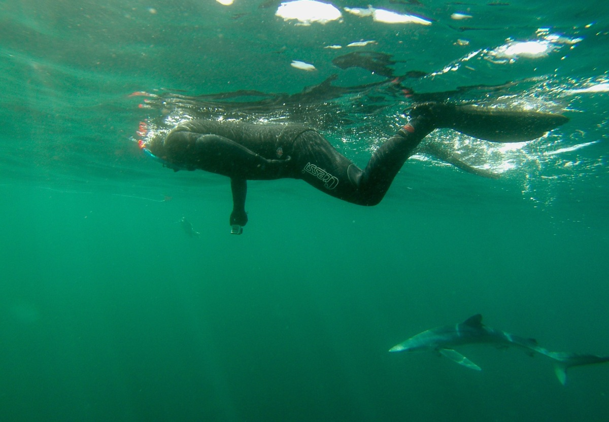 Snorkelling with Blue Sharks in Cornwall